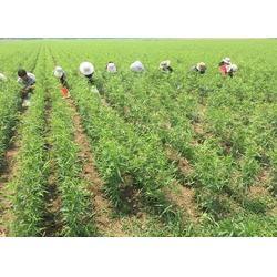 早熟桃树苗、桃树苗、乾纳瑞农业科技好品质图片