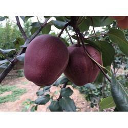 梨树苗、乾纳瑞农业科技好品质、晚秋黄梨树苗图片