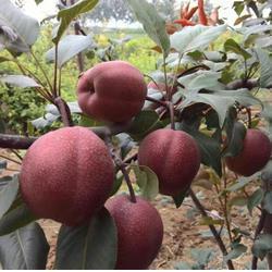 早酥红梨树苗 临汾梨树苗 乾纳瑞农业科技优惠价图片