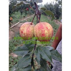 梨树苗 乾纳瑞农业科技好品质 红梨树苗图片
