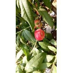 乾纳瑞农业科技欢迎您(图) 两年生桃树苗 桃树苗图片
