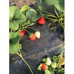 梅州法兰地草莓苗,乾纳瑞,法兰地草莓苗多少钱一棵