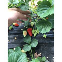 草莓苗_广元草莓苗_乾纳瑞农业(查看)图片
