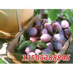西梅苗多少钱一颗、淮北西梅苗、乾纳瑞农业(查看)图片