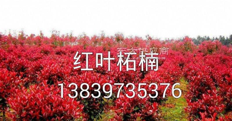 丁香 棕梠 红叶李 四李桂花 金桂 10公分紫薇5公分紫薇2公分竹子图片