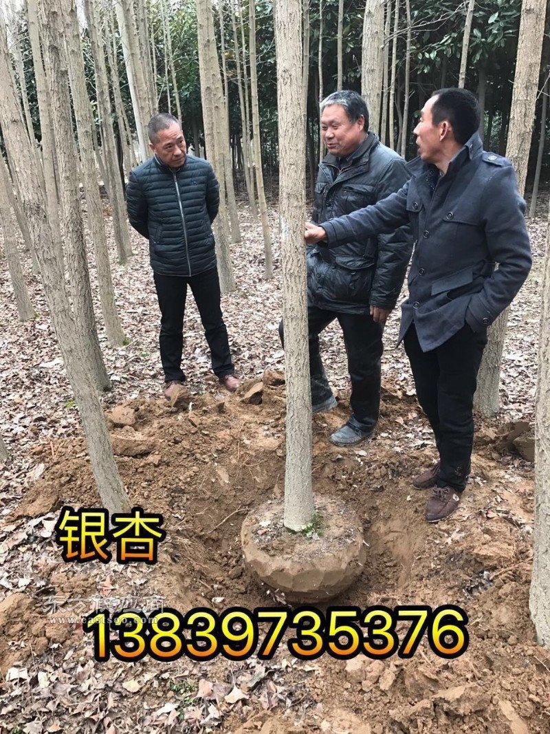 桂花小苗10公分银杏10公分栾树图片
