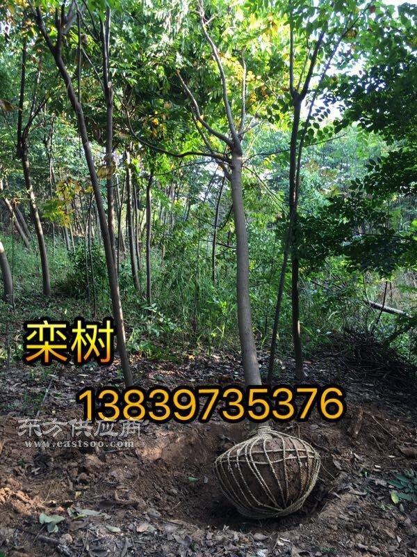 10公分栾树 3公分桂花 2米柏树 八月桂 丹桂 石榴 紫槿图片