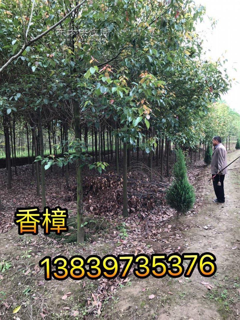 桂花苗1.5米高柏树3米高竹子图片