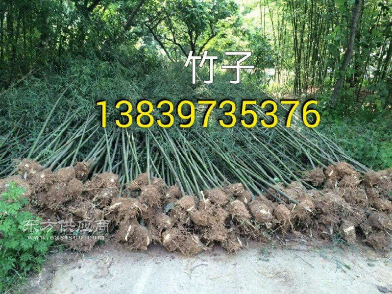 潢川4米高淡竹 2米桧柏 3公分紫薇图片