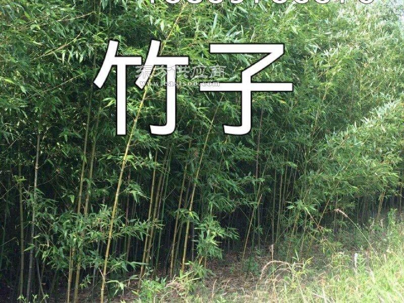 潢川2公分紫竹 小叶女真球 红叶柘楠球 5公分柘楠树图片