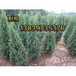 2米柏树3公分紫薇桂花苗3公分桂花图片