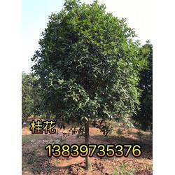 桂花苗3公分桂花1米柏树10公分紫薇5公分紫薇2公分竹子