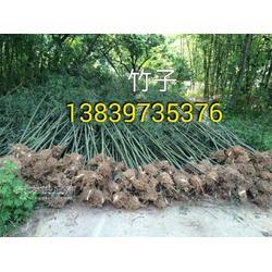 潢川5米高淡竹 3公分桂花5公分大叶女真图片