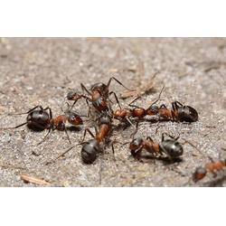 灭蟑螂之投放灭蟑螂毒饵的诀窍图片