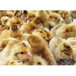 麻鸡品种、惠民禽业(在线咨询)、清远麻鸡图片