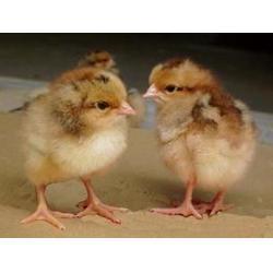 三黄鸡苗,惠民禽业好养殖,玉州区鸡苗图片