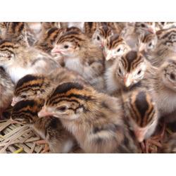 野山鸡苗-惠民禽业品质好-重庆鸡苗图片