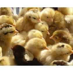 红玉鸡苗多少钱一只-广州鸡苗多少钱一只-广州惠民禽业(查看)图片