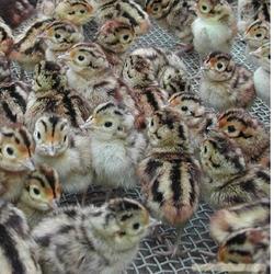 惠民禽业,麻鸡鸡苗,光明新区麻鸡鸡苗图片