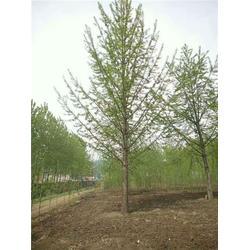 银杏树|20公分精品银杏树|通园银杏园林(优质商家)图片