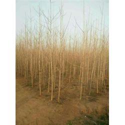 通园银杏园林(在线咨询)|银杏树小苗图片