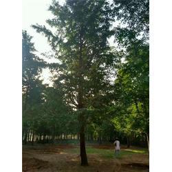 12公分银杏树的、通园银杏园林、银杏图片