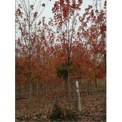 红枫|美国红枫红冠|通园银杏园林(优质商家)图片