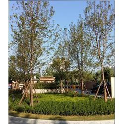 6公分美国红枫的|通园银杏园林(在线咨询)|美国红枫图片