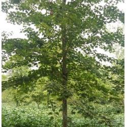 美国红枫_通园银杏园林_5公分美国红枫图片