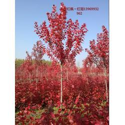 美国红枫,8公分美国红枫,通园银杏园林(优质商家)图片