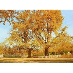银杏苗木、通园银杏园林、20公分银杏苗木图片