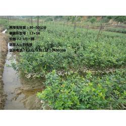 湖南一年生油茶苗种植基地_衡阳一年生油茶苗_【新胜油茶】图片