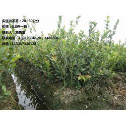 【新胜油茶】、湖南红豆杉、怀化红豆杉图片
