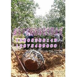 买樱花树就到丰田园林图片