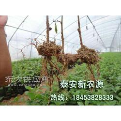 矮化樱桃苗图片