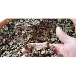 昆明五华区马甲子种子直销|景江园林绿化|马甲子种子图片