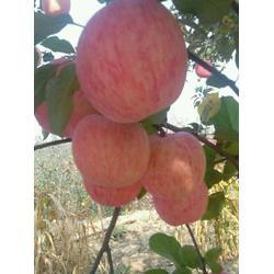 碑林區洛川蘋果-洛川蘋果優質蘋果-景盛果業洛川蘋果圖片