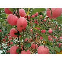 洛川嘎啦苹果预售,洛川嘎啦苹果,景盛果业(查看)图片