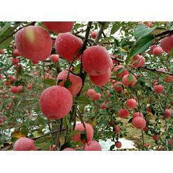 洛川苹果上市时间_洛川苹果_景盛果业洛川苹果图片