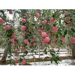 礼盒洛川苹果团购、礼盒洛川苹果、景盛果业图片