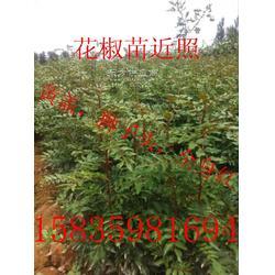 大红袍花椒苗-大红袍花椒苗哪有纯正的大红袍花椒苗图片