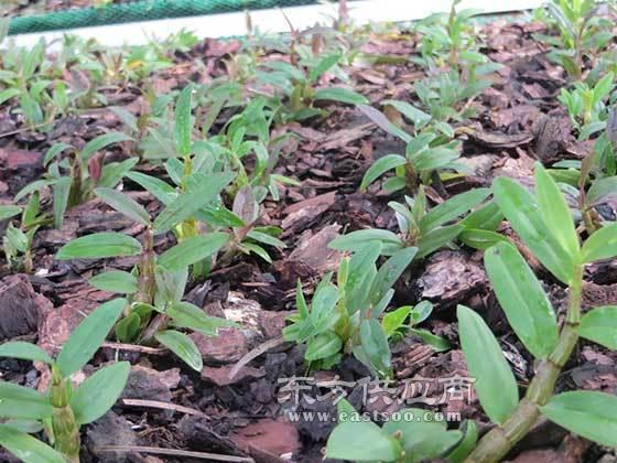 野生铁皮石斛种苗 汇通银河石斛种苗出售 迪庆铁皮石斛种苗图片图片