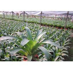 弥勒花卉种苗基地,汇通银河(在线咨询),弥勒花卉种苗图片