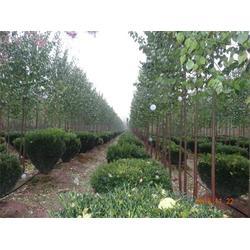 森林公园造型树种植园,郑州造型树种植园,中峰园林(查看)图片