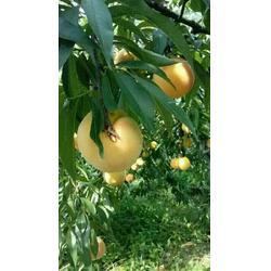 桃树种植、桃树种植利润、枣阳桃花岛(优质商家)图片