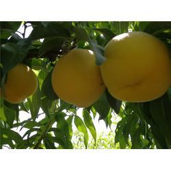 黄桃产地-黄桃-枣阳桃花岛(查看)图片