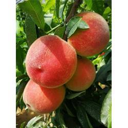 黄金桃树苗,鄂州桃树苗,枣阳桃花岛图片