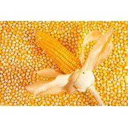玉米,上海骧旭农产品,哪里有玉米图片