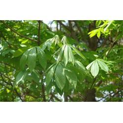 句容淘氧彩叶苗木 七叶树哪家好-泉州七叶树图片