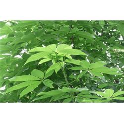 临汾七叶树-七叶树报价-淘氧彩叶苗木图片